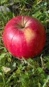 jablko_1007 006_100_177