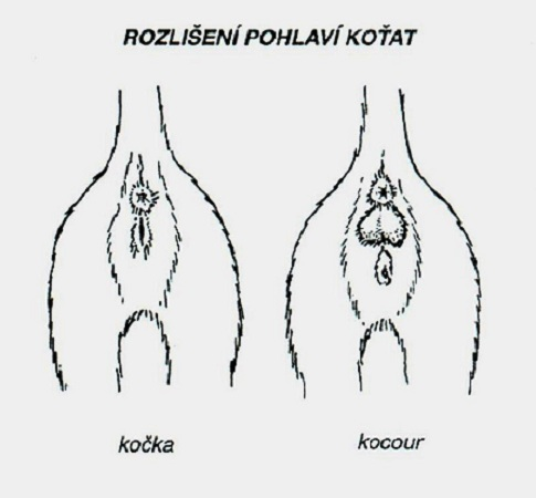 urceni_pohlavi_kocicky_obr_3